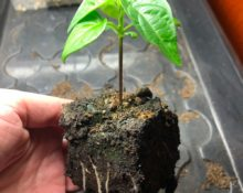 chili odla i soil block