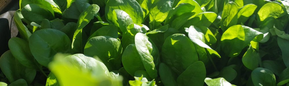 Odla egen spenat, Guick growing vegetables